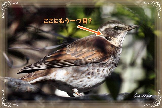 庭に来たツグミ(スズメ目ツグミ科): 鳥に魅せられて